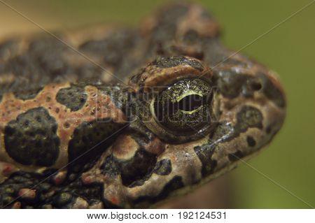 Macro photograph of an ordinary frog's eye