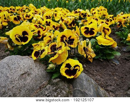 A group ofbeautiful yellow pansies in the graden with rock at the front