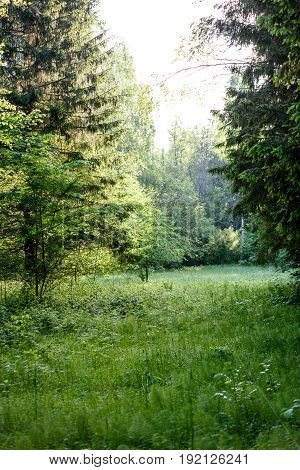 Green Forest In Early Summer Morning