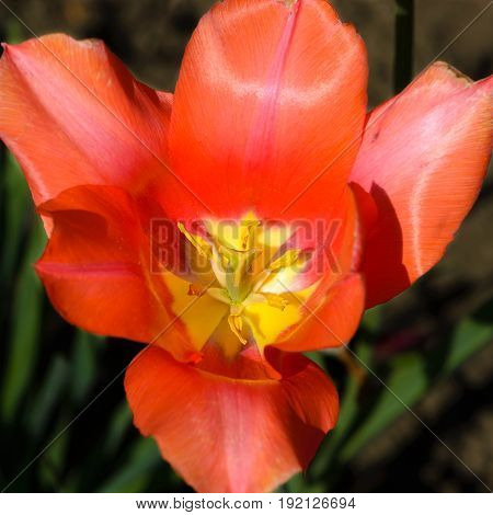 Beautiful Red Tulip Flower Blossomed And Exposed The Pestle And Stamens
