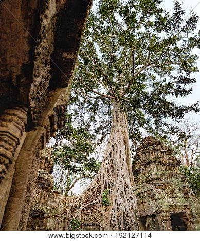 A large tree trunk of great banyan tree growing near Ta Prohm Temple in Angkor Complex, Siem Reap, Cambodia. Ancient Khmer architecture famous, Cambodian landmark, World Heritage