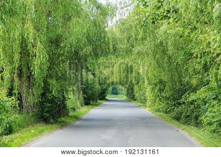 tunnel of green willow trees above the narrow road
