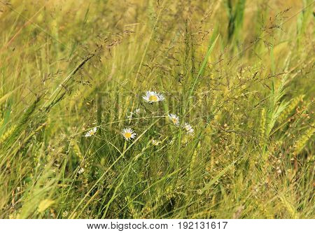 white blooms of daisy wheels in the grass in summer