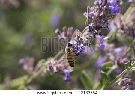 Bee collecting pollen on flowers. The wild bee a drinking nectar from flowers close up.