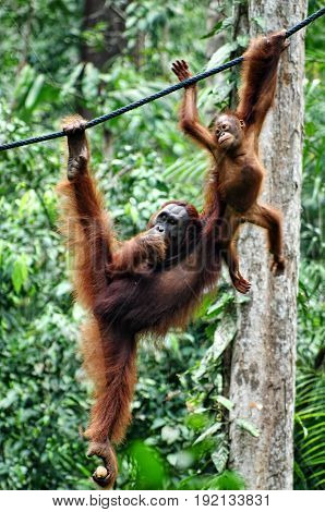 Mother and baby orangutan play on ropes. Great Apes hang between branches of tree in the forest.