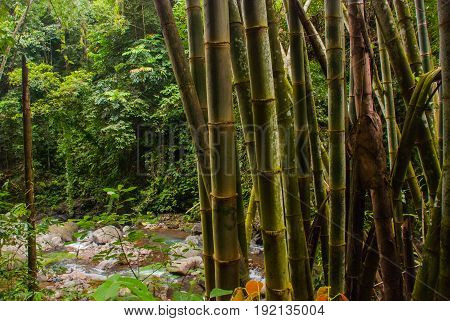Cane. Landscape With Green Trees In The Jungle, Island Negros. Philippines