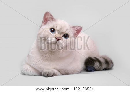Cute Scottish cat on a gray background