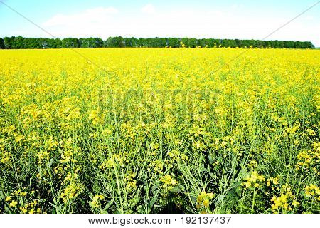field of yellow flowers at the prospect of eco fuel