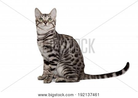 Bengal cat is sitting on a white background.