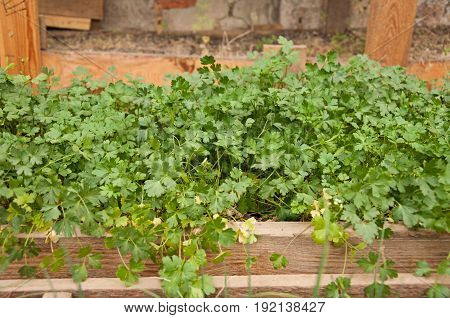 Parsley grows in the wooden box. Gardening at Home
