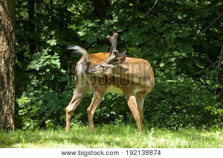 A White-tailed buck grooms itself showing off it's distinctive tail