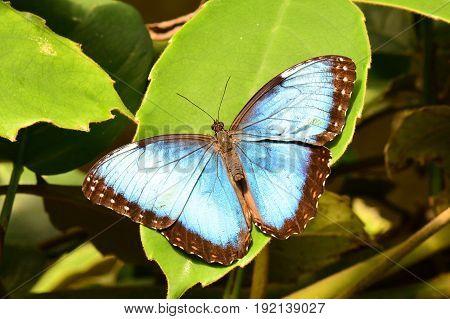 A pretty blue morpho butterfly lands in the butterfly gardens.