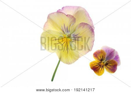 Beautiful pansy and viola isolated on a white background.