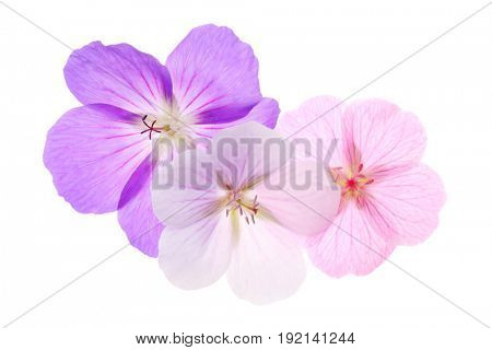Three geraniums , purple, pink and white isolated on a white background.