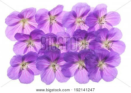 An abundance of geraniums on a white background.
