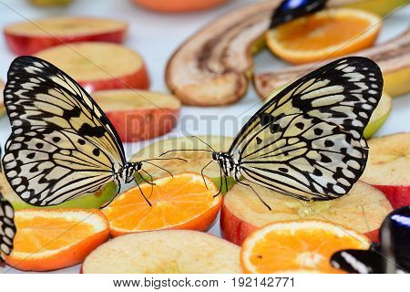 A pair of white tree nymph butterflies feed on fruit at the garden feast.