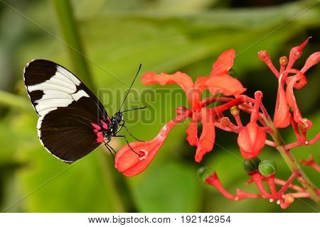 An Eleuchia longwing butterfly lands on a  flower while visiting the gardens and has lunch.