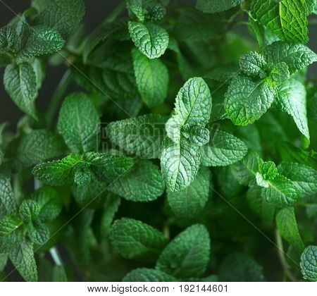Mint. Fresh mint leaf background closeup. Growing organic mint close up
