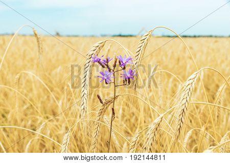violet flower in golden field with crop