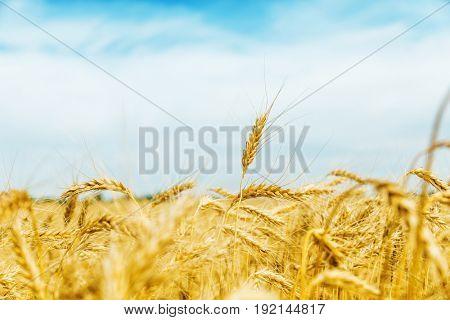 golden crop field