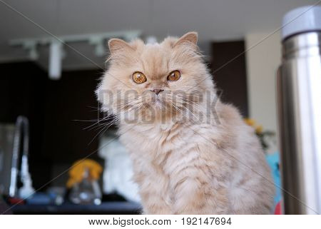 Persian cat staring at camera on table