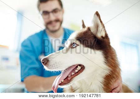 Muzzle of cute siberian husky visiting vet