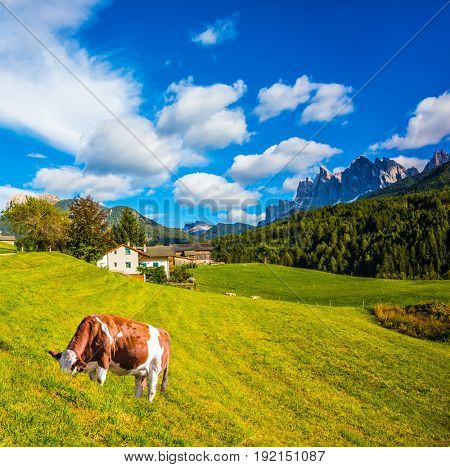 Warm autumn day in the Val de Funes, Dolomites. The concept of ecological tourism. Well-fed cow grazes on the green slope of the mountain