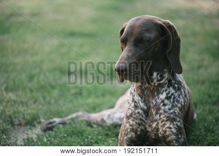 Cute German pointer dog portrait
