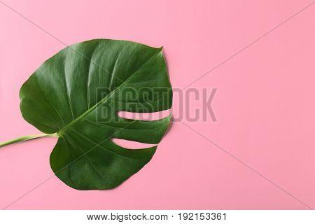 Green Monstera leaf on color background