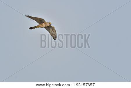 Common Kestrel, Falco tinnunculus on blue sky