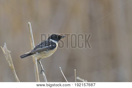 Whinchat, Saxicola rubetra in summer field