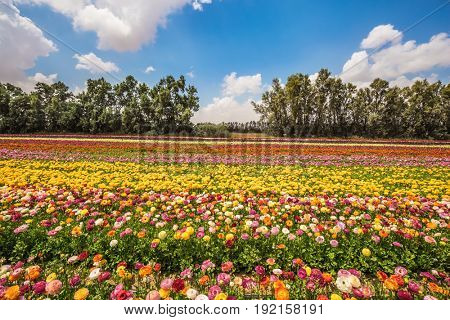 The concept of modern agriculture and industrial floriculture. Kibbutz field. Magnificent flowering garden buttercups. Spring in Israel