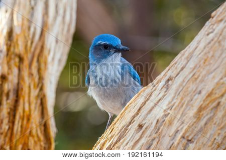 Western Scrub Jay Blue Bird visible between tree branches