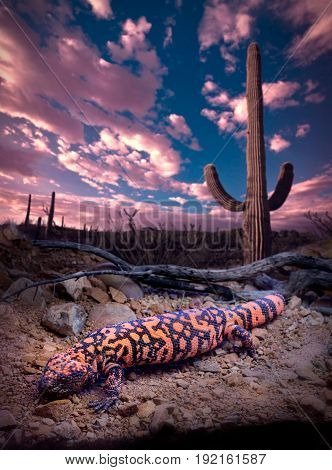 Gila Monster Clouds Sky and Saguaro Cactus
