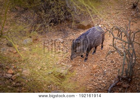 Javelina Walking through the Sonoran Desert High angle view