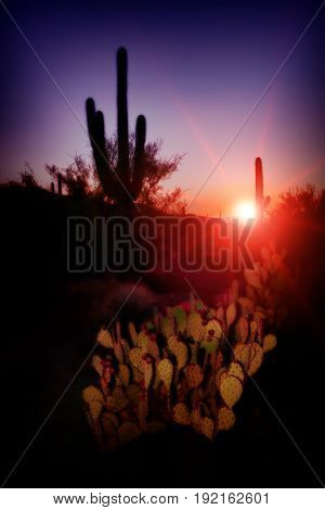 Red sunset and purple sky with prickly pear and saguaro cactus.