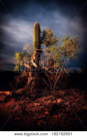 Saguaro Cactus and Mesquite tree and sundown.