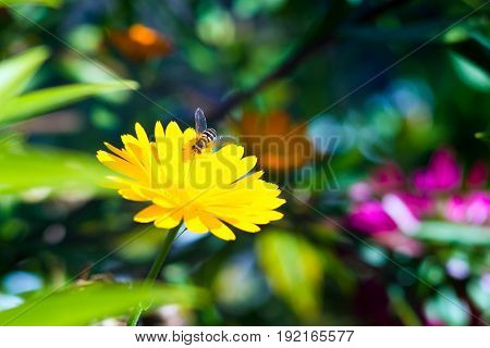 A fluffy hornet flew to drink sweet nectar from yellow flower