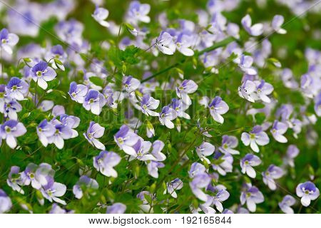 Green Grass With Small Blue Flowers