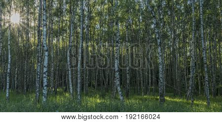 Birch tree forest in sunny spring nice evening