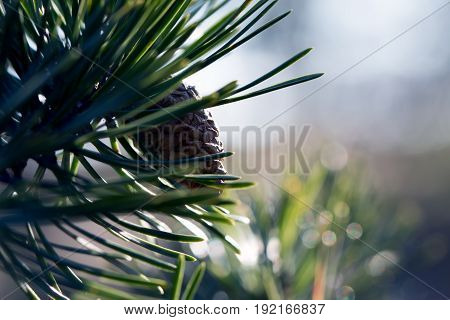 A pine cone in pine needles in a forest in the nature