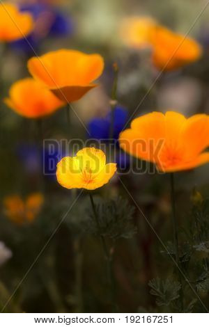 Wildflowers Growing in the Sonoran Desert poppies and Desert Bluebelles