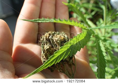 Marijuana Leaf With Bud In Palm Of Hand High Quality