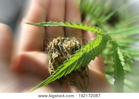 Marijuana Leaf Zoom Burst With Bud In Palm Of Hand High Quality