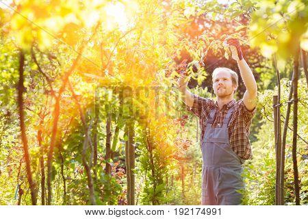 Man clipping branch in garden
