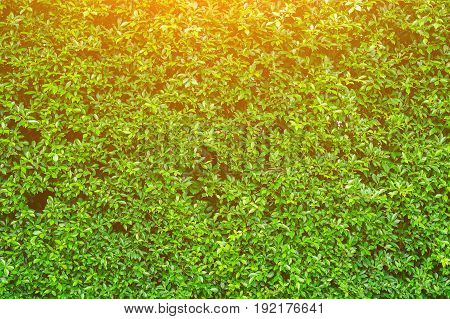 shrubbery, Green hedges,shrubbery texture background, exterior in natural style