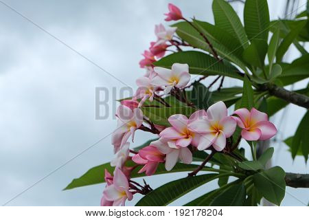 plumeria flowers, plumeria on the plumeria tree .