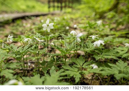 Beautiful white flowers of anemone oak (anemone nemorosa) in a spring forest close-up on a blurred background a trail and a bridge.