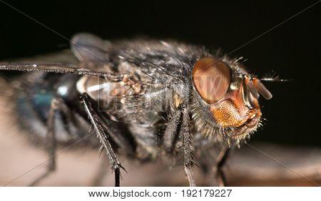 A House fly close up . A photo