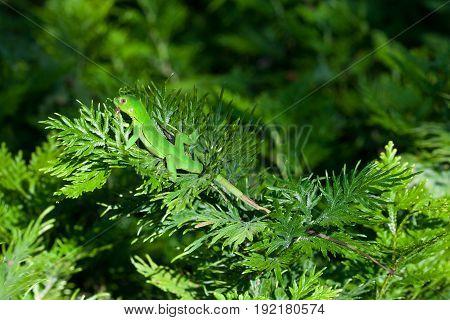 Beautiful juvenile green iguana under the sun